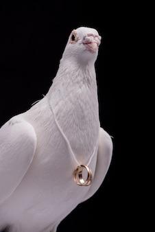 Witte duif met trouwringen op nek geïsoleerd in zwarte muur.