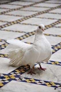 Witte duif op de betegelde vloer