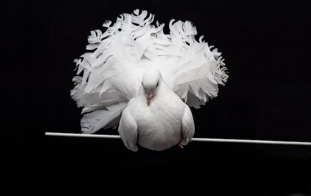 Witte duif zit op een stokje, geïsoleerd op een zwarte.