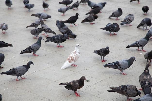 Witte duiven in de grijze duiven.