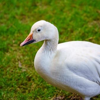 Witte eend in close-up op groene grasachtergrond.