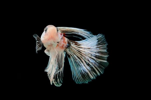 Witte en blauwe siamese kempvissen