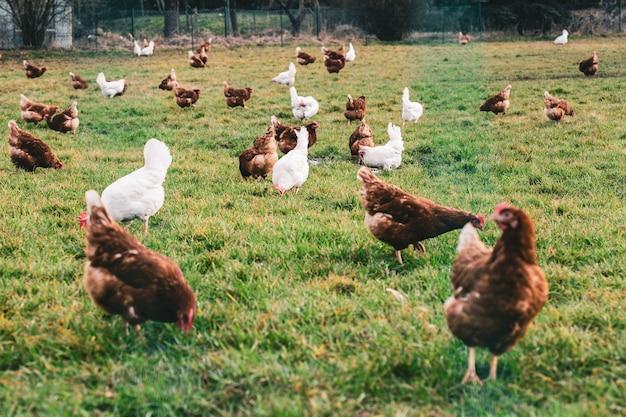 Witte en bruine kippen in de velden overdag