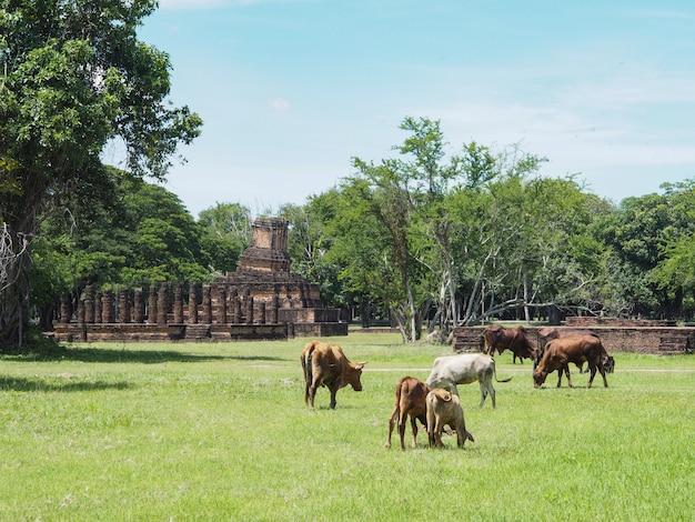 Witte en bruine koeien die gras op het gebied eten