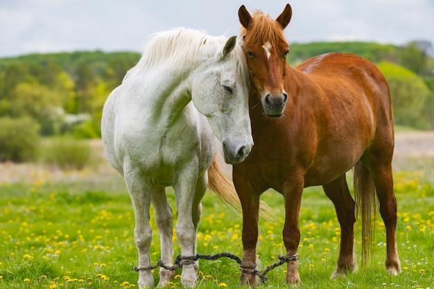 Witte en bruine paarden grazen in de wei