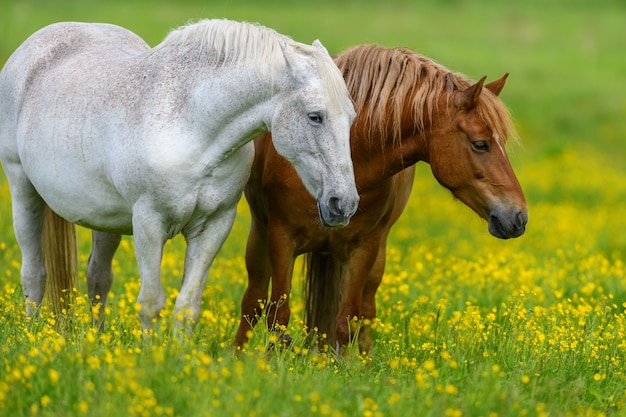Witte en bruine paarden op veld met gele bloemen
