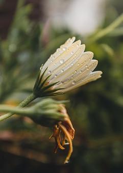 Witte en gele broekbloemblaadjes met waterdruppels