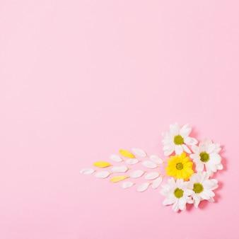 Witte en gele chrysanthemum op roze achtergrond