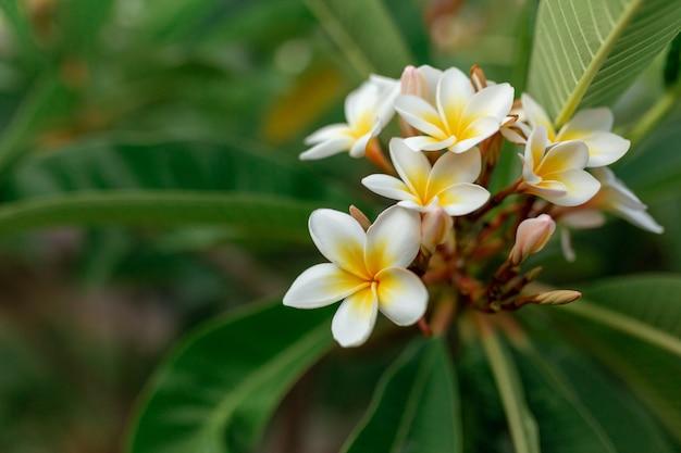 Witte en gele plumeriabloemen aan een boom
