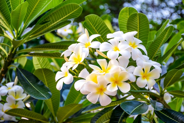Witte en gele plumeriabloemen op een boom