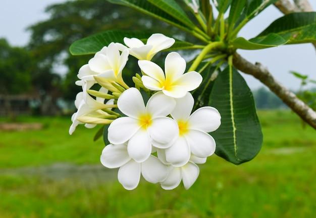 Witte en gele tropische frangipani of plumeriabloesem met groene bladeren
