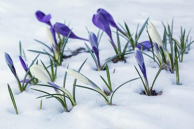 Witte en paarse krokussen groeien op een besneeuwd bloembed