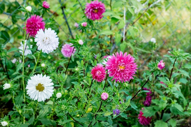 Witte en roze asters bloeien op het bloembed