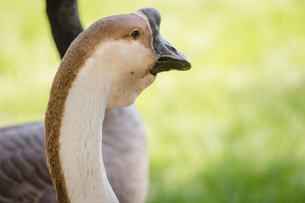 Witte en zwarte zwaan overdag in de buurt