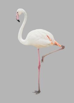 Witte flamingovogel die op grijs wordt geïsoleerd