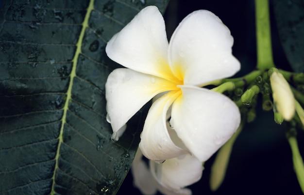 Witte frangipanibloemen met waterdalingen