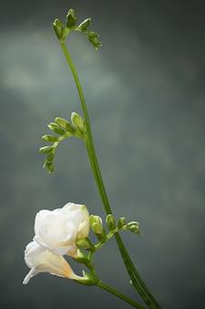 Witte freesia op groen
