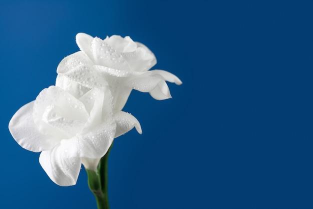 Witte fresiabloemen op blauwe achtergrond.