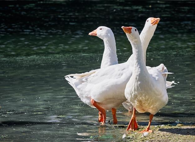 Witte ganzen in de rivier