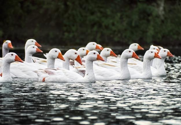 Witte ganzen in een rivier.