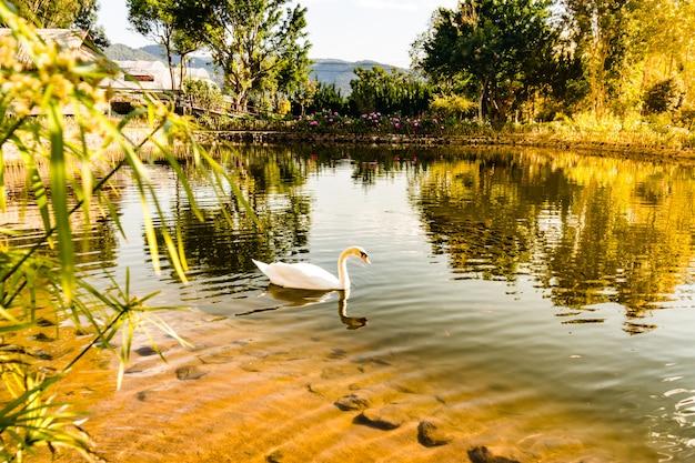 Witte ganzenzwemmen is de natuur van waterdieren die graag zwemmen