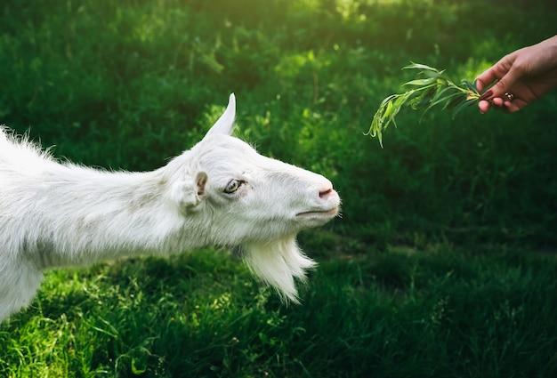 Witte geit die wilg eet. vrouw voedt huisdieren in de natuur.