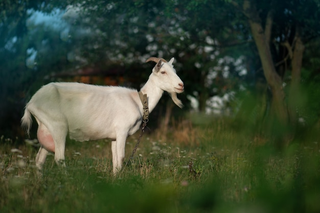 Witte geit graasde op een groene weide