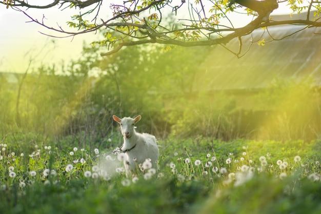 Witte geit in de tuin. geit in een groen veld. thuis geit op een boerderij buiten