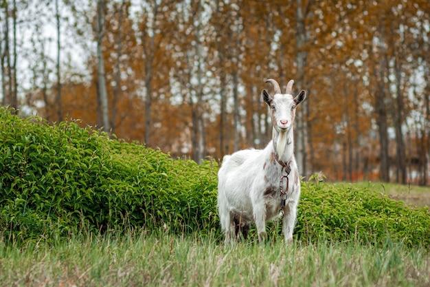 Witte geit in de wei, tegen de achtergrond van vegetatie.