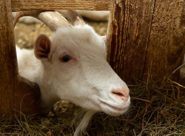 Witte geit in schuur. binnenlandse dwerggeit in de farm. kleine geit staande in houten schuilplaats. nieuwsgierig kleine geit die zich in houten schuilplaats bevindt. kleine geiten die lol hebben in een schuur.