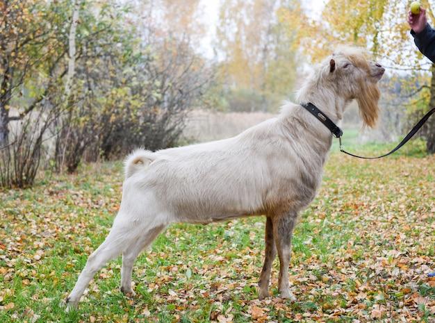 Witte geit met een baard aan de leiband grazen op een herfstdag