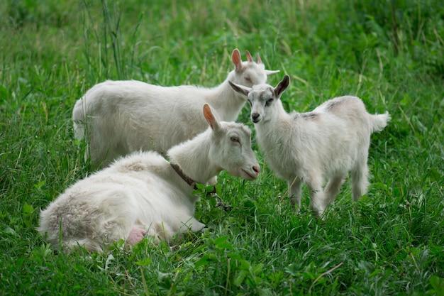 Witte geit met kinderen