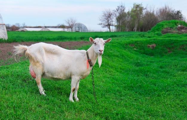 Witte geit op groen gras in het dorp in de lente