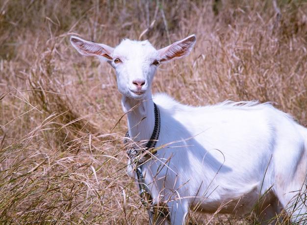 Witte geit zoogdieren natuur landbouw wet. portret van een witte geit in de natuur.