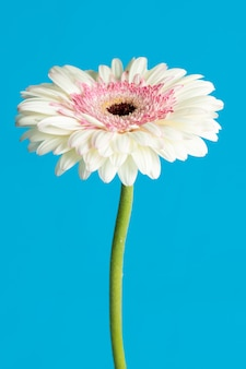 Witte gerberabloem die in blauwe oppervlakte wordt geïsoleerd
