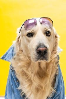Witte golden retriever poseren in studio met straatkleren en bril, muzikale artiest look
