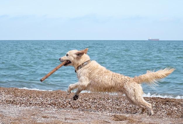Witte gouden labrador retriever-hond op het strand