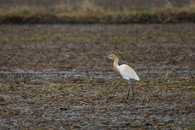 Witte grote vogel op zoek naar voedsel in een rijstveld in zuidoost-azië.