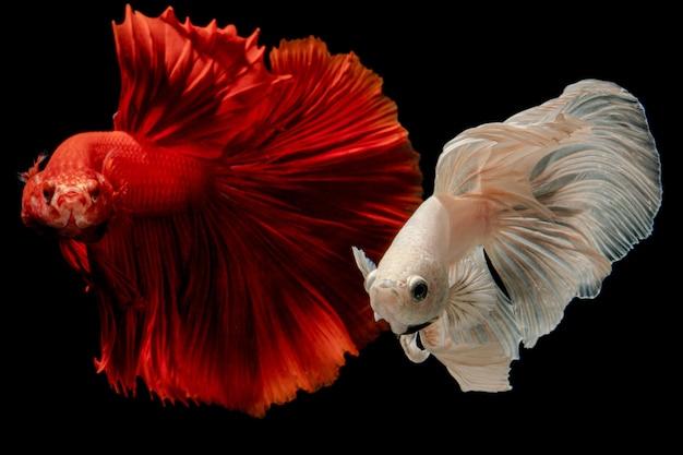 Witte halfmoon simaese het vechten vissen