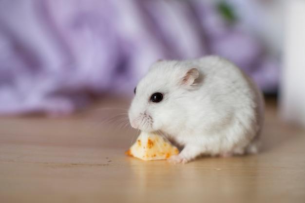 Witte hamster met zwarte ogen die een stuk kaas eten.