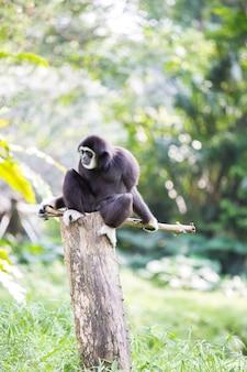 Witte hand gibbon aap
