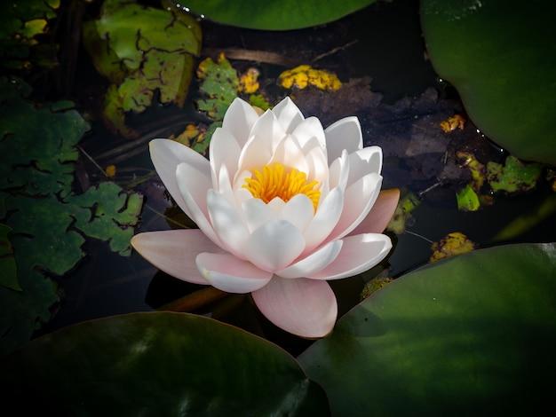 Witte heilige lotusbloem op het water