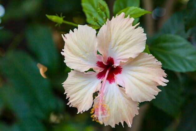 Witte hibiscusbloem in de aard.