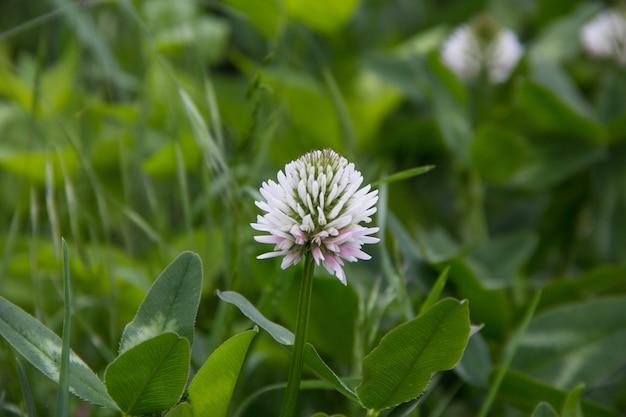 Witte hollandse klaver trifolium repens.