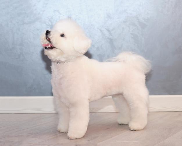 Witte hond bichon frise staande voor een grijze achtergrond