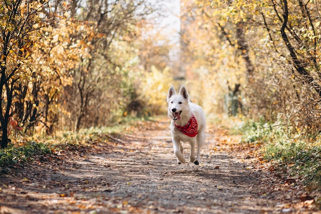 Witte hond die in de herfstpark loopt