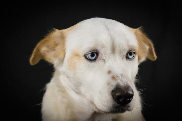 Witte hond met blauwe ogen op een zwarte achtergrond