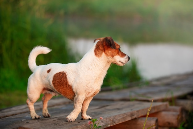 Witte hond met rode vlekken met natte vacht na het zwemmen in de rivier