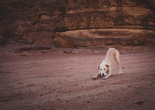 Witte hondenhond puppy in het zand. duinen in de wadi rum-woestijn jordanië