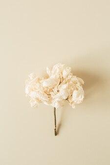 Witte hortensia bloemtak op pastel beige oppervlak